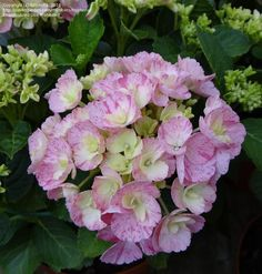 PlantFiles Pictures: Hydrangea 'Sweet Fantasy' (Hydrangea macrophylla) by kniphofia
