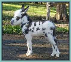 Li'l Angels Miniature Donkeys Nursery ~ Foals of 2013 Minature Donkey, Mini Donkey, Farm Animals, Animals And Pets, Funny Animals, Cute Animals, Tiny Horses, Animal 2, African Animals