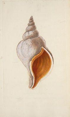 Edward Donovan, The natural history of British shells.lindahall: Edward Donovan, The natural history of British shells. Seashell Painting, Seashell Art, Shell Drawing, Seashell Tattoos, Vintage Illustration, Sea Life Art, Beach Art, Natural History, Sea Shells
