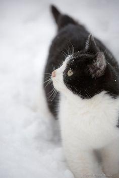 perros-y-gatos:Perro Shar Pei Chino