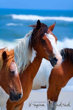 Wild ponies on Assateague State Park, Ocean City, MD