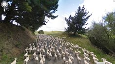 How did the Google Street View driver get through all of these sheep?