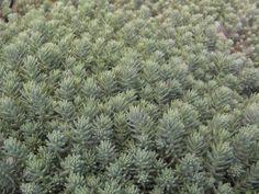 Sedum pulchellum – Sedum