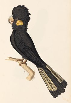 yellow tailed black cockatoo images - Google Search