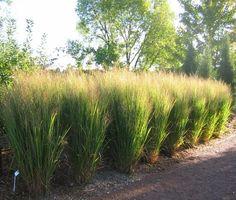 Panicum virgatum Northwind is een soort wat goed rechtop blijft staan. Landscape Design, Garden Design, Feng Shui Garden, Ornamental Grasses, Tall Grasses, Front Yard Landscaping, Landscaping Ideas, Garden Inspiration, Land Scape