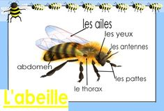 cheznounoucricri - Page 123 Grade 2 Science, Science Biology, French Teacher, Teaching French, Bee Activities, Vocabulary Instruction, French Kids, Bee Theme, Bugs And Insects