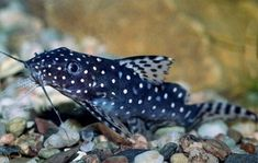 Synodontis angelicus - polka-dot African catfish
