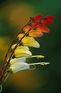 ~~ MINA LOBATA 'EXOTIC LOVE', SPANISH FLAG ~~