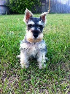 Cutie!! Mini schnauzer puppy, love the black hair on the bridge of his nose, what a cutie pie