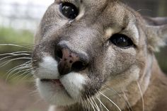 Puma, Cougar, Florida Panther.  A cat by any other name...