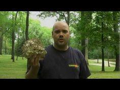 ▶ Hunting Maitake (Hen-of-the-Woods, Sheep's Head, Ram's Head Mushrooms) with Don King - YouTube