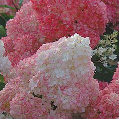Vanilla Strawberry Hydrangea (Hydrangez paniculata 'Renhy') - blooms from June to first frost, triple color bloom progression (white to pink to red as they mature), large flowers, 6' high, zones 4 - 8, new version of 'Endless Summer' hydrangea