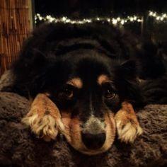 Launch #dogface in 321...go! #aussieshepherd #cohens4life #vancouverisland #dog