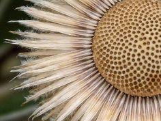 fibonacci in nature - Marlborough Rock Daisy - Sid Mosdell