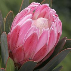 Protea compacta hybrid Pink Cream is a stunning bloom with candy pink bracts that surround creamy white florets. Ideal for borders and hedges. If planting