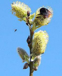 Vill man ha humlor, fjärilar och bin i trädgården, låt sälgen i diket vara ifred!!