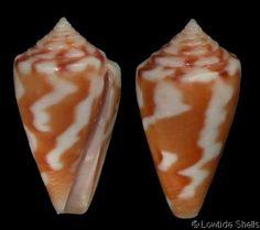 Asprella erythraeensis erythraeensis couderti (f)  Bernardi, M., 1860 Couderts Cone Shell size 16 - 25 mm Red Sea
