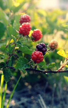 Wild raspberries: our favorite forageable!