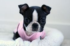Boston Terriers! I want a puppy!