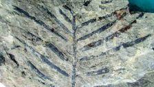 Podozamites - a multi-veined conifer in New Zealand's Jurassic