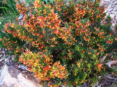 dwarf grevillea to x Long flowering and attracts nectar eaters (birds, butterflies etc). Garden Shrubs, Landscaping Plants, Garden Plants, Australian Native Garden, Australian Plants, Winter Plants, Winter Garden, Orange Flowering Plants, Orange Plant