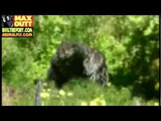 Humboldt County Bigfoot Picture Analyzed (2013 Picture) - YouTube (California)