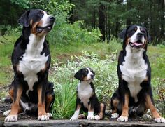 Prism Greater Swiss Mountain Dogs - Home of Titan, Fury and Fender
