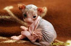 Hairless Kitten. I want one so bad.