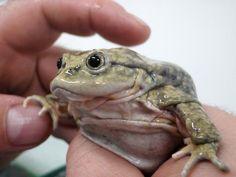Lake Titicaca Water Frog (Telmatobius culeus)