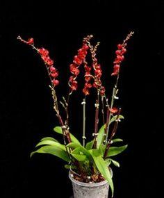 Howeara Lava Burst Orchid | Howeara Lava Burst 'Puanani' AM/AOS (Hwra. Mini-Primi x Rdza. secunda)