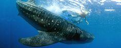 Whale Shark Cancun Tour