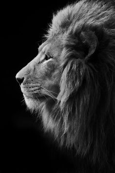 African Lion Photo by Brit Finucci -- National Geographic Your Shot Wild Animal Wallpaper, Lion Wallpaper, Lion King Art, Lion Art, Lion Profile, Animals Beautiful, Cute Animals, Judah And The Lion, Wolf Sleeve