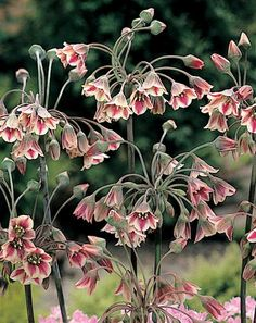 Nectaroscordum siculum. Z5-9. 36-48in tall. Full sun and average watering. Soil pH: 6.1-7.8.