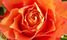 #rose #orange #sacralchakra #secondchakra #healing #reiki #goddess #love #emotions #relationships #sexuality #sensuality #indulgence #chocolate #healing Sacral Chakra Healing, Second Chakra, Reiki, Relationships, Chocolate, Orange, Rose, Schokolade, Roses