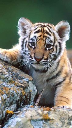 It's a cute tiger.