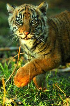 Sumatran Tiger Cub, Chester Zoo.   Flickr - Photo Sharing!