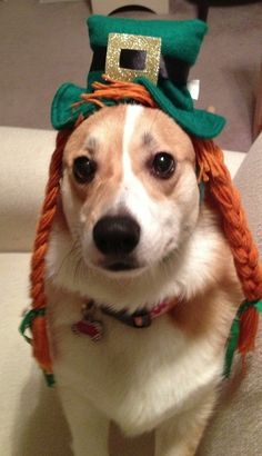 This photo of a corgi in a wig has increased tourism for Ireland by 15%. | 71 Reasons We Need To SAVE CORGIS FROM EXTINCTION