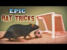 RICHMOND, Va. -- Rats played basketball at the Science Museum of Virginia in Richmond, Virginia, in honor of the 2010 Final Four. (Video by Bryan DeVasher/Ri...