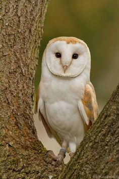 "the-clockmakers-daughter: "" featheroftheowl: "" Barn Owl by Richard Dowling "" ༺ Can You Handle a Twisted Fairy Tale? Owl Photos, Owl Pictures, Beautiful Owl, Animals Beautiful, Owl Bird, Pet Birds, Funny Animals, Cute Animals, Nocturnal Birds"