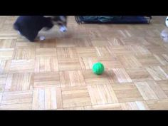 Cute Corgi puppy excited to play with new toy (VIDEO) » DogHeirs | Where Dogs Are Family « Keywords: Corgi, Puppy, toy, ball