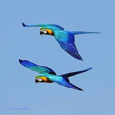 Flying Twins Blue and Gold Macaw From Pin Board Pretty Birds, Beautiful Birds, Animals Beautiful, Cute Animals, Tropical Birds, Exotic Birds, Colorful Birds, Colorful Animals, All Birds