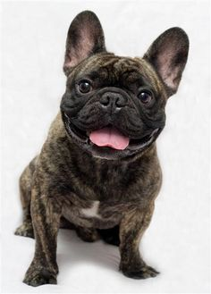 Smiley French Bulldog Brindle. this is what Hailey wants when Biglsey passes.  I dread the day!