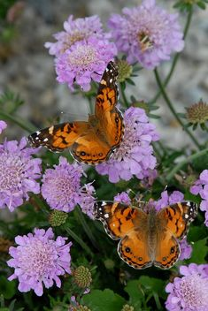 Two Painted Lady Butterflies resting on butterfly Scabiosa flowers