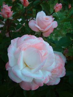 Floribundas Rose 'Anniversary'  http://www.tbr.co.nz/default/rose-catalog/old-garden-roses/floribundas/anniversary.html