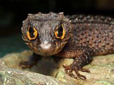 reptiglo:  tribolonotus gracilis (crocodile skink) by irawan_subingar on Flickr.