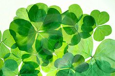 Isolated Shamrocks Free Stock Image