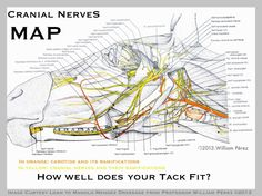 12 cranial pairs of nerves affecting all the horse may systems: sight, breath, taste, hearing, but also balance, heart rate,neck movements, facial movement, salivation., vocalisation, tongue movement, eye movement and more...