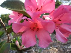 scented pink rhododendron Flowers, Plants, Pink, Rose, Floral, Plant, Royal Icing Flowers, Florals, Roses