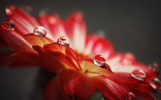 5055d333bb6 Red Rose Water Drops Macro HD Wide Wallpaper for Widescreen Wallpapers) – HD  Wallpapers