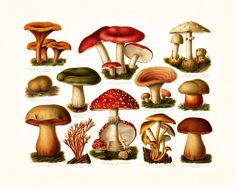 ANTIQUE MUSHROOM GICLEE CANVAS PRINT This print features an antique botanical illustration which has been digitally enhanced and added to a light neutral background. SIZE: 8 X 10 MATERIALS: PREMIUM AR